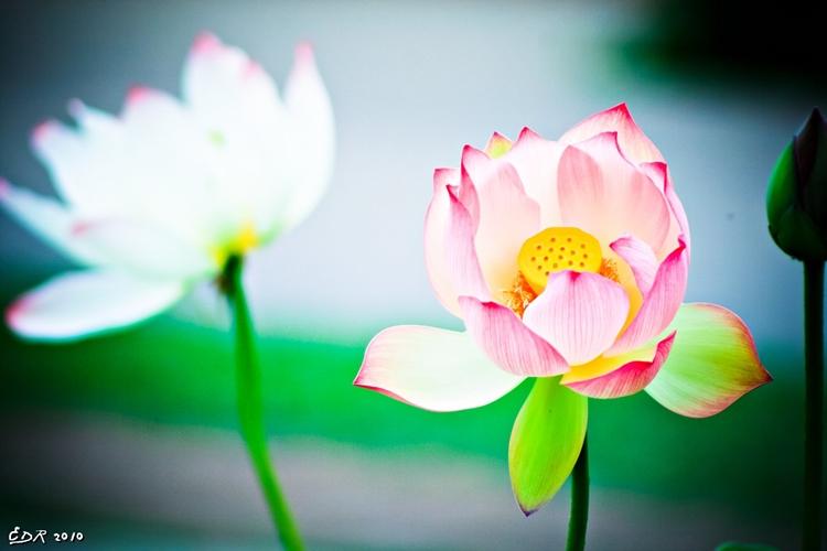 _pretty_lotus