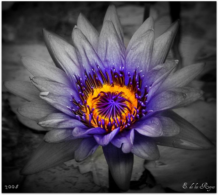 _purple_lotus