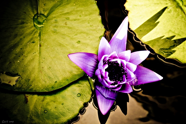 _purple_lotus2