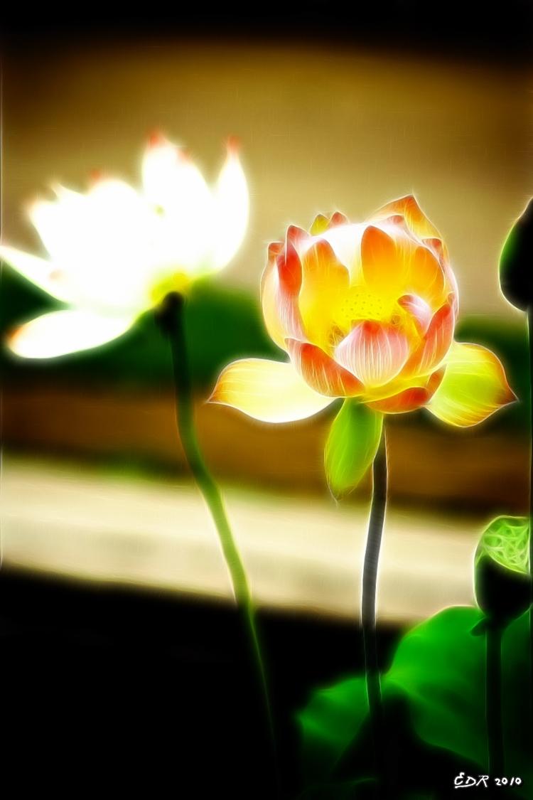 _sig_ok_pink_lotus_bloom2
