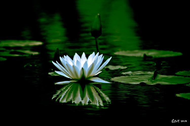 _white_lotus_orig