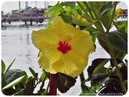 PUA ALOALO (YELLOW HIBISCUS). The pua aloalo, or yellow hibiscus (Hibiscus brackenridgei) was designated the official state flower of Hawaii in 1988 (also called ma`o-hau-hele). (www.statesymbolsusa.org)