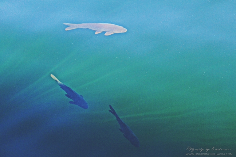 Some of the fishes enjoying the crystal clear waters of Lake Powell. :)