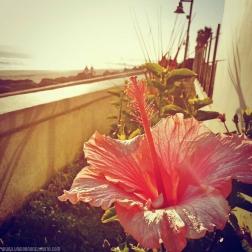 🌺 Hibiscus 🌺